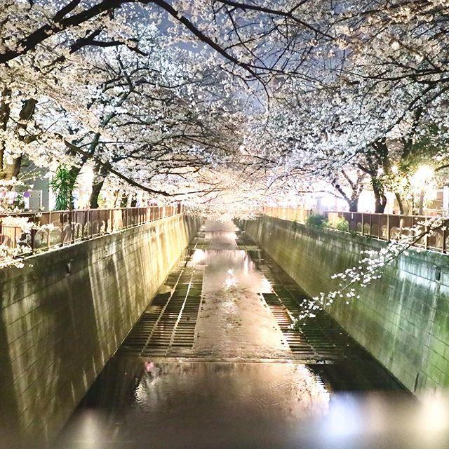 おはようございます!.「春の陽気」という言葉がありますが、「陽気」とは万物生成の根本となる二気の一。万物が今まさに生まれ出て、活動しようとする気の事.ついに桜も満開になって、自然界も陽の気が満ち始めてるのを感じますね。目黒川の桜が今年も綺麗でした.中国には「春捂秋凍」という言葉があります。春は直ぐに薄着にならず、体包む。秋は凍えて冬に備えるという意味だそう。.体温計調整が難しい春。皆さんご自愛下さいませ!.#healthyfood #medicinalfood#fruits#健康 #ヘルシーフード#手作り酵素ジュース #発酵 #発酵フルーツ #薬膳 #中医 #春捂秋凍#ドードーの空@dodonosorakitchen